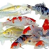 Toledo Goldfish Live Standard Koi for Ponds,...