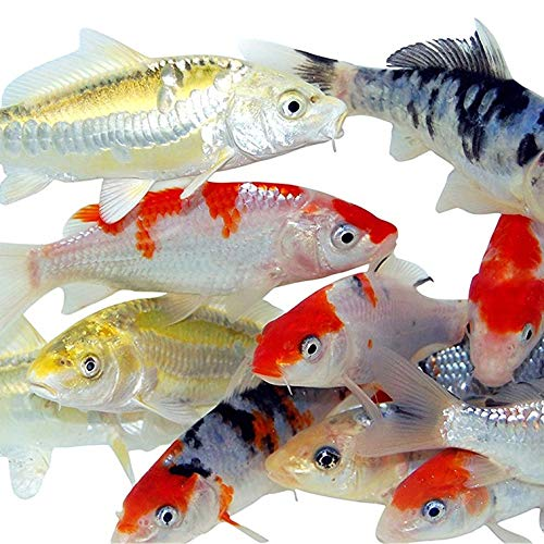 pond fishes Toledo Goldfish Live Standard Koi for Ponds, Aquariums or Tanks – USA Born and Raised – Live Arrival Guarantee (4 to 5 inches, 10 Fish)