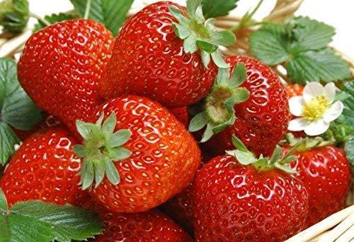 Jennem Samenhaus - 50 Teile/paket Gemäßigte Staude, geeignet für den Anbau von essbaren Erdbeersamen im Freien