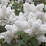 25 White Japanese Lilac Seeds (Extremely Fragrant)/ (Original Version)
