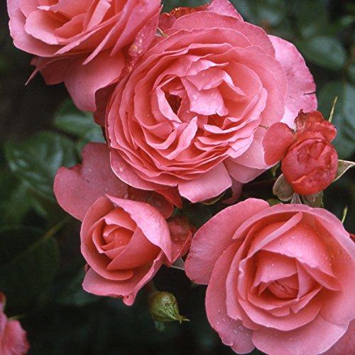 """Kletterrose """"Rosanna (Premium) - lachsrosa blühende Topfrose im 6 L Topf - frisch aus der Gärtnerei - Pflanzen-Kölle Gartenrose"""