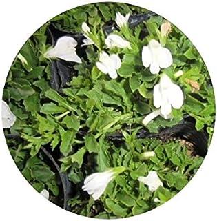 グランドカバー サギゴケ シロバナ 鷺苔 白花 9.0p 120本 グランドカバー 下草 雑草予防