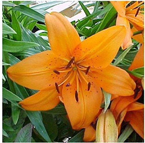 KINGDUO Egrow 100Pcs/Pack Parfum Lily Graines Jardin Jaune Rouge en Pot Fleurs Graines-4