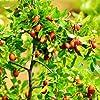 Bshopy 10pcs de jujube fruits Graines Véritables jujube de graines exotiques Bonsaï naturel Sain beau facile Délicieux organique Vivace plante grandir #2