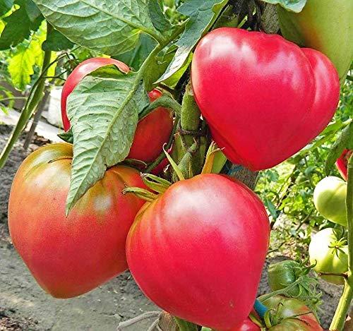 Tomate Abakan Rosa - Sehr Leckere Tomatensorte - 10 Samen