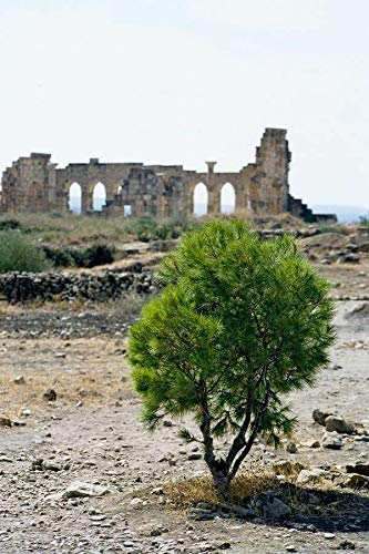Pinus halepensis Aleppo-Kiefer, 10 Samen