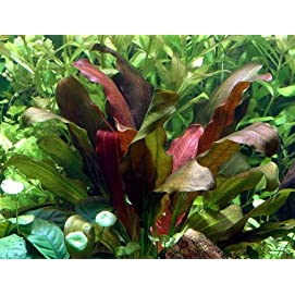 WFW wasserflora Echinodorus x barthii Doppelt-Rot/Barths Schwertpflanze, eine Rarität