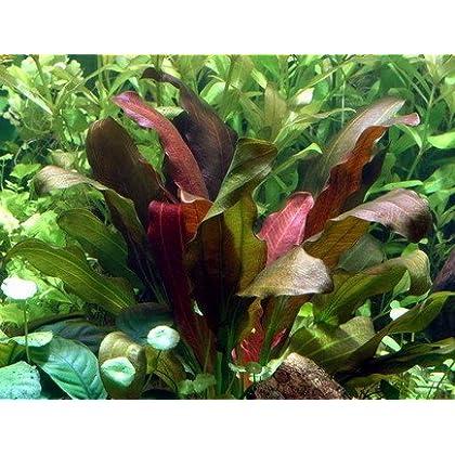 WFW wasserflora Echinodorus x barthii