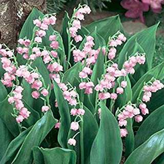 2018 Hot Sale Rare 'Feng Die' Pink Lily of The Valley Convallaria majalis Perennial Flower Seeds, Professional Pack, 50 Seeds/Pack