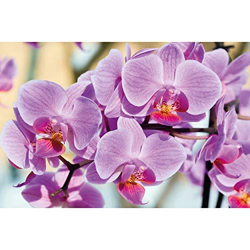 GREAT ART XXL Poster – Orchideen – Wandbild Dekoration Blumen Natur Phalaenopsis Blüten Pflanze Knabenkraut Floristik Frühling Relax Wellness Spa Wandposter Wanddeko Bild (140 x 100 cm)