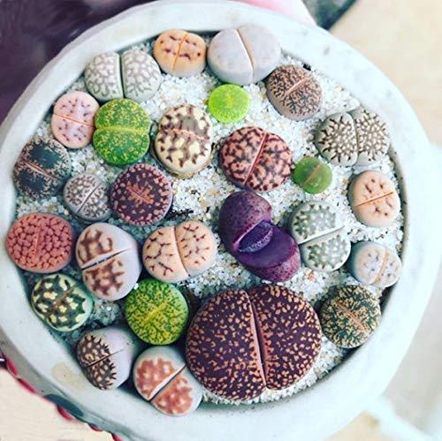 Living Stone Kiesel Pflanzensamen Lebende Steine, Bunte Pflegeleichte Sukkulente Lithops Samen Saftig Sukkulenten Blumensamen Bonsai Decor Süße Schöne Minipflanze für Garten Balkon Terrasse