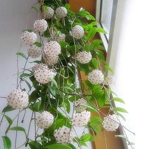 Portal Cool Hoya Carnosa 100Pcs Bonsai Seed-Baum-Blumen Pflanzen Dekor Hausgarten