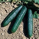 10 Graines semence BIO concombre sonja f1 graines certifiées fleur/potager
