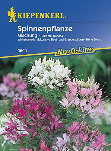 Cleome spinosa Spinnenpflanze Mischung