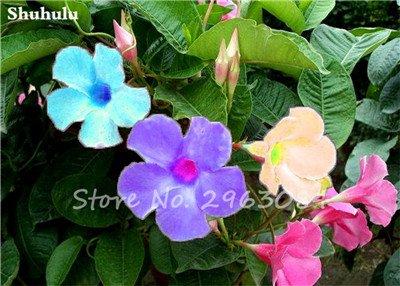 50 Pcs/sac Rare Dipladenia Sanderi Graines vivaces Escalade Mandevilla Sanderi fleurs en plein air d'ornement Bonsai Plant Garden 23