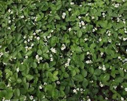 Erdbeerpflanzen 10 Erdbeerwiese Fragaria im 10er Tray Erdbeerenwiese Bodendecker
