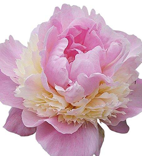 Sorbet Peony–Rose, Pink, Weiß und Creme–flauschig Bomb Vielzahl