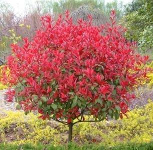 PinkdoseHausgarten Pflanze Photinia Fraseri Frasery Serrulata Rotkehlchen Tipluohu Blumensamen 50 Samen