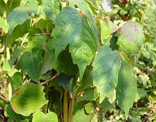 Wilder Wein - Jungfernrebe - Parthenocissus Quinquefolia - Kletterpflanze, sehr winterhart, leuchtend rote Herbstfärbung, 40-60 cm