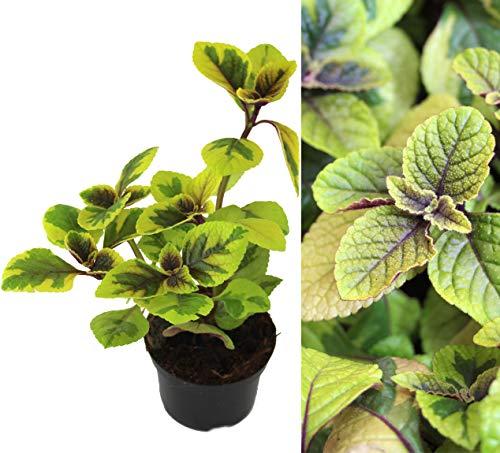 Isenzo Weihrauch Plectranthus Coleoides Weihrauchpflanze lebende Pflanze Pflanzen Mottenkönig Beetpflanze Yellow