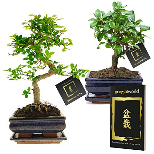 Bonsaiworld Bonsaiboompjes Set - 2 Stuks - 8 jaar oud - Hoogte 25-30 cm + Bonsai Boekje