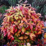 5 Semi di Nandina Domestica Moyers Red Heavenly Bamboo