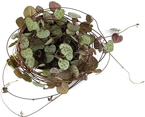 Fangblatt - Ceropegia woodii Leuchterblume - Ø 8,5 cm Topf, ca. 30 cm lang - hängende Zimmerpflanze - String of Hearts