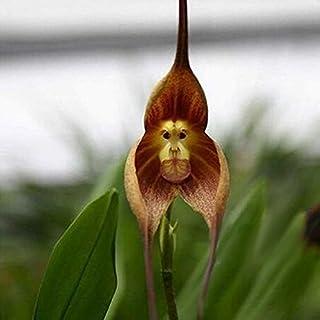 EgBert 200PCS jardín Bonsai Flor Mono Cara orquídeas Semillas Plantas de múltiples variedades de Interior - 3