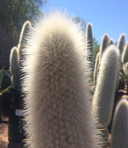 PLAT FIRM GERMINATIONSAMEN: 50 Samen: Samen: Silber-Fackel-Kaktus, Cleistocactus Strausii, wollig wollig fuzzy