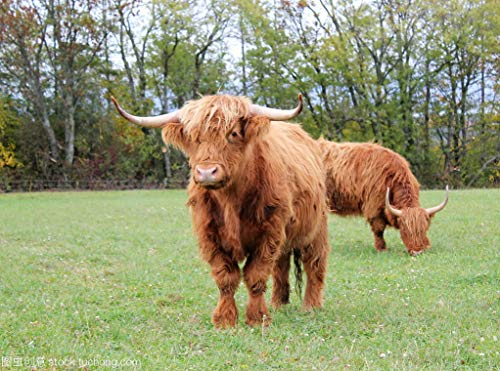 yaofale Puzzle 1000 pieces Scottish Highland Cattle DIY Toys for Creative Gift Home Decor Educational Games Entertainment Gift. 50x70cm (Frameless)