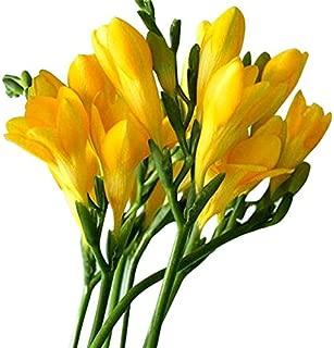 12 Single Yellow Freesia Bulbs - Top Size