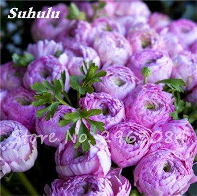 Vente 10 pièces/sac rares Couleur Pivoine Graines Heirloom Sorbet robuste Graines Pivoine Bonsai Pot de fleurs pivoine Graines de fleurs Jardin Plante 5