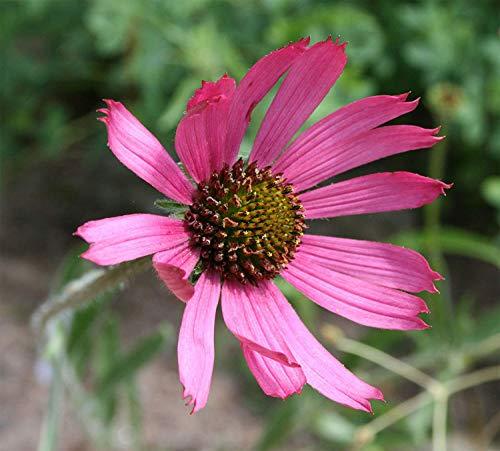 SANHOC Samen-Paket: Echinacea tennesseensis | Tennessee Sonnenhut | 10_Seeds