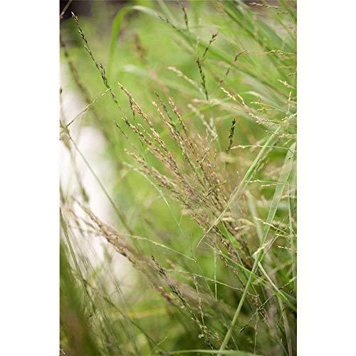 Molinia arundinacea 'Transparent' - Hohes Garten-Pfeifengras 'Transparent' - 11cm Topf