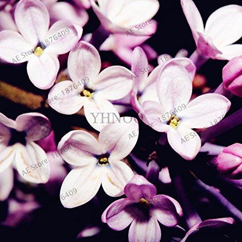50pcs/sac couleur mélangée Violet Garden Seeds Plantes Violet Fleurs vivaces herbes Matthiola Incana semences pour la maison et le jardin 2