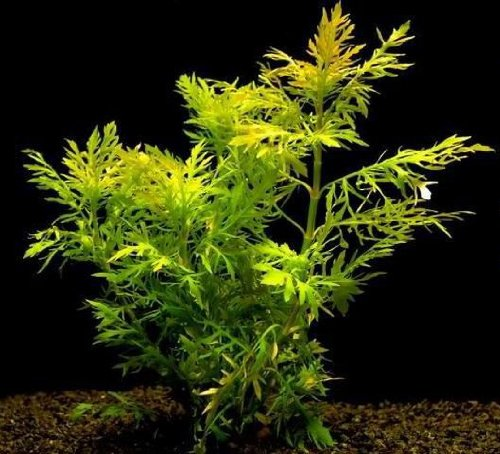 Indischer Wasserstern - Wasserwedel/Hygrophila difformis
