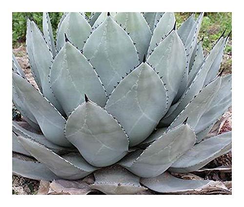 Agave parryi subsp. parryi - Parrys Agave - Mescal Agave - 10 Samen