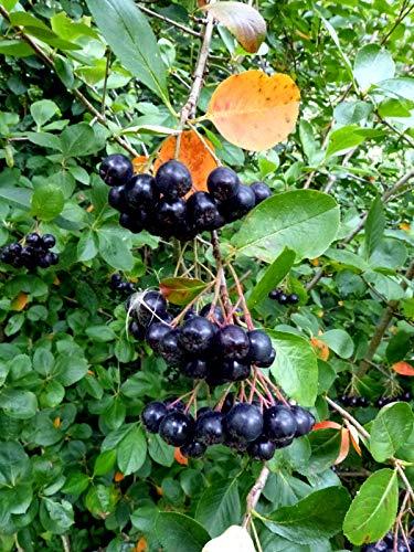 Schwarze Apfelbeere Aronia melanocarpa 'Hugin' Pflanze 15-20cm Kahle Apfelbeere