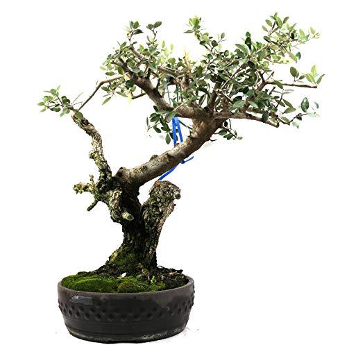 Bonsai Olivenbaum, Olea europaea, 41 Jahre, 53 cm Höhe