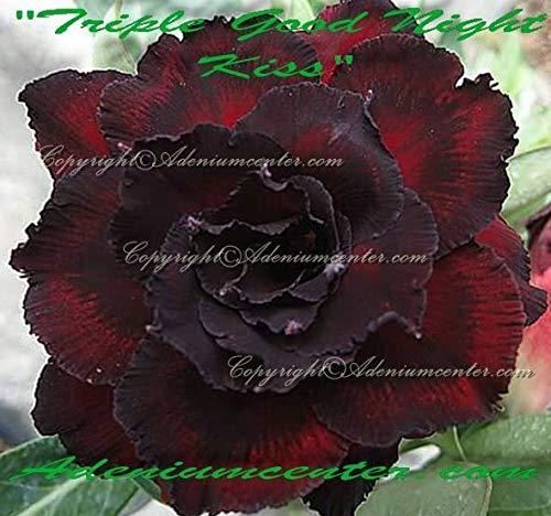 PLAT FIRM GRAINES DE GERMINATION: Adenium obesum ROSE DESERT FLOWER TRIPLE\