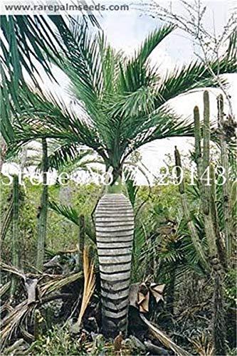 Pinkdose Verkauf!10 Stücke Mix Farben Japan Flasche Palme Bonsai Exotische Pflanzen Bonsai Baum Tropische Zierpflanze Balkon Pflanze Bonsai Pot: 9