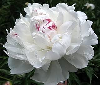 Beautifull 30 DUCHESS WHITE PAEONY ASTER French Peony Callistephus Flower Seeds