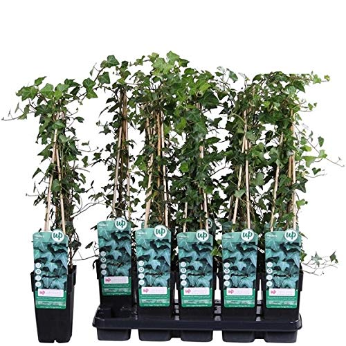 Hiedra de Exterior Planta Natural Altura 60cm Maceta 15cm Planta Trepadora Enredadera...