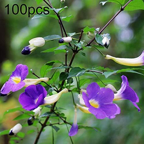 quanjucheer 100 Stück Aufrechte Berg Morning Glory Samen Thunbergia Erecta Samen Bonsai Pflanze Blume Garten Hof Büro Dekoration Thunbergia erecta Samen