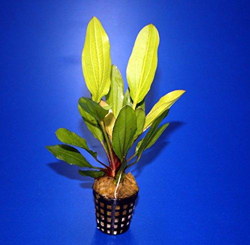 WFW wasserflora Horemanis Schwertpflanze grün/Echinodorus horemanii grün TOP-Rarität