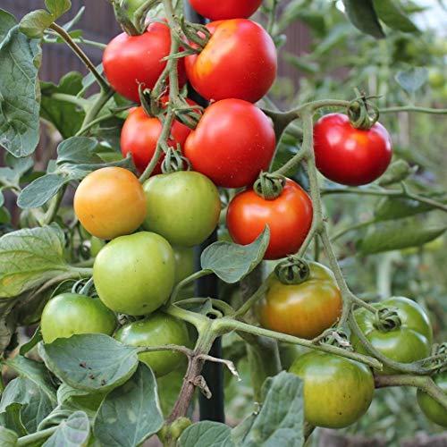 Harzfeuer F1 Tomatensamen für ca. 15 Pflanzen - beliebte und bewährte Sorte