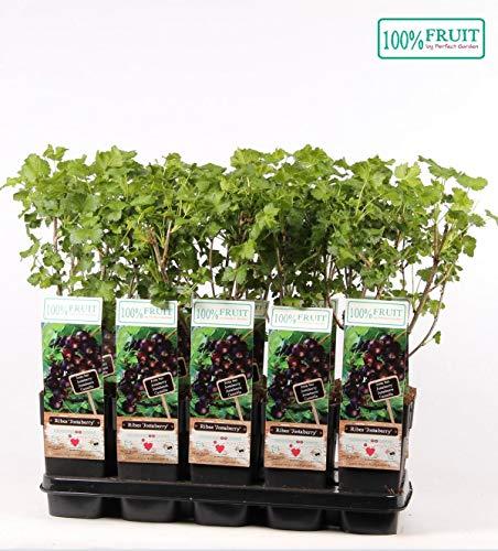 Jostabeere/Jochelbeere 60-70 cm Ribes jostaberry
