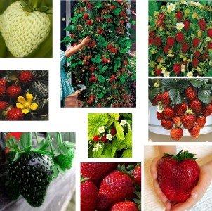 RWS mélange de graines de fraises, collection-10 paquets, 10 variétés, 100 graines