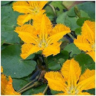 (ビオトープ)水辺植物 アサザ 夕日(1ポット) 浮葉植物 (休眠株)