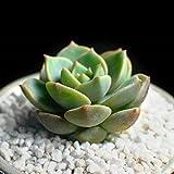 Befied 100 piezas mixtas semillas suculentas Raras bonsaïi Sequía Las gramíneas planta tolerante Type 16